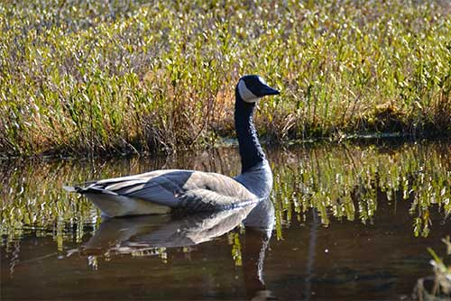 A goose visits the lake (photo credit: Linda Carlsen-Sperry)