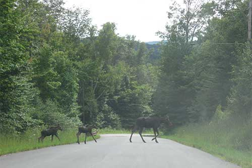 Moose crossing near Quechee State Park (photo credit: Agnes Barsalow)